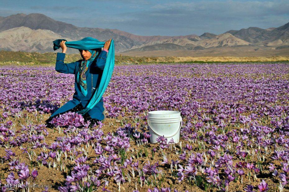 برداشت زعفران در نطنز به 1600 کیلوگرم رسید
