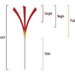 Saffron Buying Guide